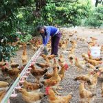 Bệnh Marek ở gà: Triệu chứng, cách điều trị và phòng ngừa