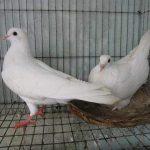 Bồ câu Pháp kinh nghiệm nuôi bồ câu hiệu quả kinh tế cao