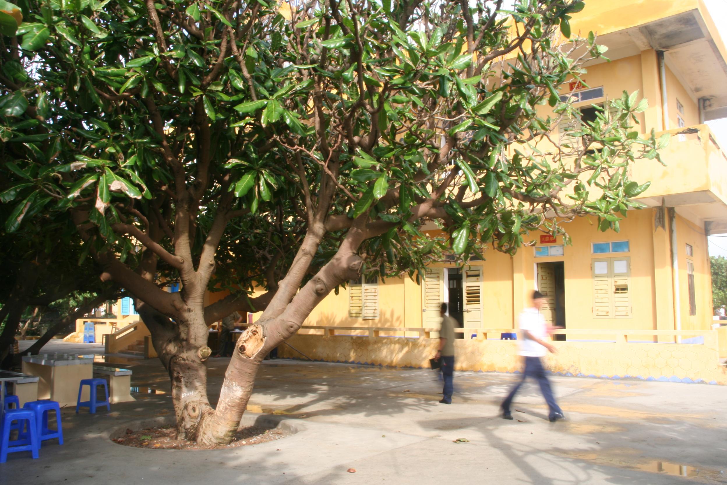 Cây bàng vuông trên đảo Trường Sa lớn