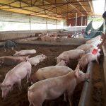 Chăn nuôi nông hộ: Lối đi nào cho người chăn nuôi?