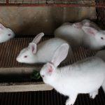 Con thỏ ăn gì? Hướng đi nào cho nghề chăn nuôi thỏ