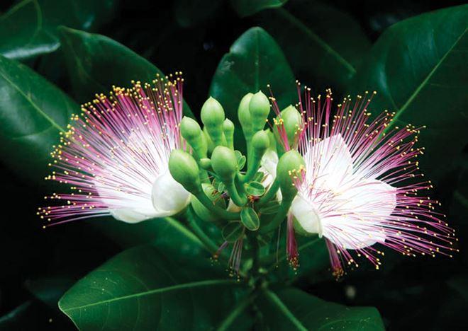 hoa bàng vuông ở đảo Phan Vinh
