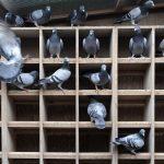 Kỹ thuật nuôi chim bồ câu ta chi phí thấp mà thu nhập cao