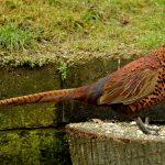 Cách nuôi chim trĩ đỏ đảm bảo mang lại lợi nhuận khủng