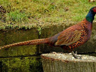 cách nuôi chim trĩ đỏ
