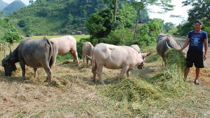 chăn nuôi gia súc
