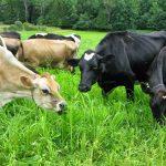 Gia súc là gì? Những điểm mới trong luật chăn nuôi gia súc năm 2018