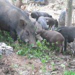 Nuôi lợn rừng: Bí quyết thành công từ kỹ thuật nuôi lợn rừng