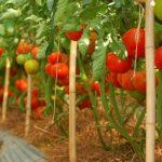 Trồng cà chua vào tháng mấy là tốt nhất?