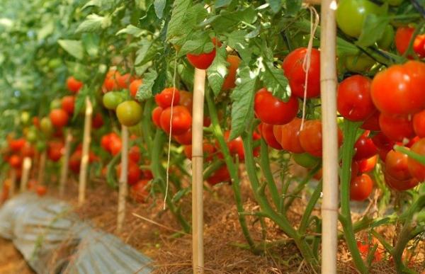 trồng cà chua vào tháng mấy